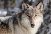 Wolf looking at the camera upclose